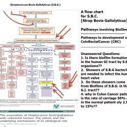 diagram-flow-chart-strep-bovis-gallolyticus-and-human-disease-annotated-and-referenced
